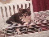 Котики и кошечки мейн-кун с документами