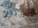 Породистые котята фолд
